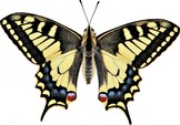 143Papilio machaon